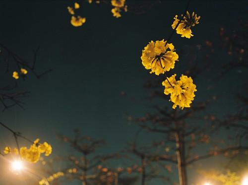 夜攝-黃金風鈴木   by lovelyivan