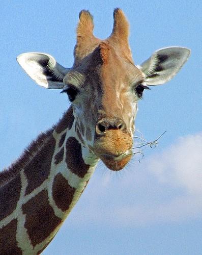 An Adult Giraffe nibbles branches | by versageek