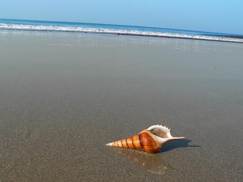 sea india beach marine shell seashell aquatic karnataka mangalore tannirbhavi krayker wildxplorer