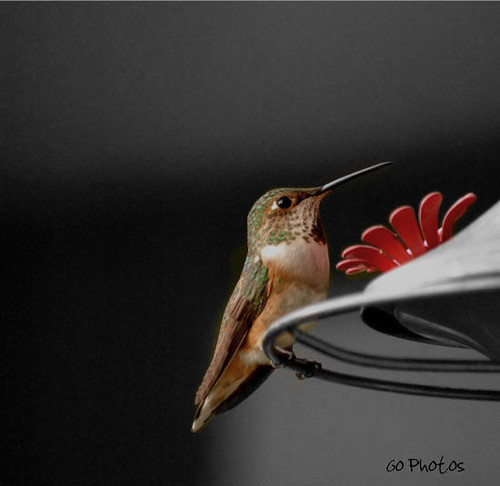 Selective Coloring Hummingbird...