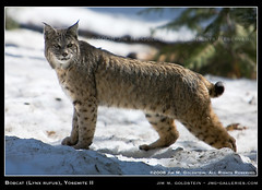 Bobcat (Lynx rufus), Yosemite II | by jimgoldstein