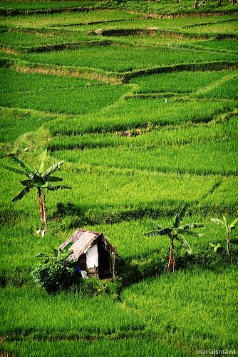green field canon indonesia rice hut shack padi agriculture bogor sawah sentul 400d gubuk canonef70200mmf4lisusm photofaceoffwinner photofaceoffplatinum pfoplatinum mariaismawi gapjuly10