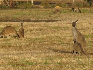 Even more and more photos of kangaroos