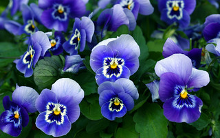 purple pansies | by Muffet