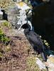 Cape Cormorant II by jomilo75