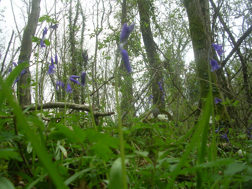 Bluebells Witney to Haslemere