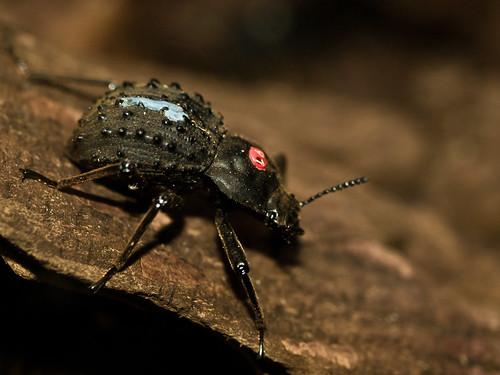 Beetle No. 97