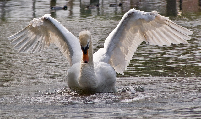 Swan wings.