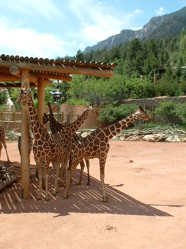 Giraffes at Cheyenne Mtn Zoo