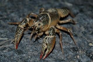 Lawn Crawfish 022 | by cygnus921