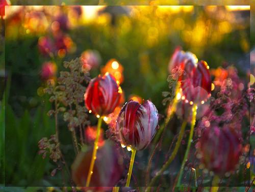 flowers sunset abstract water photoshop evening uath awardtree karenandmc tulipimpression