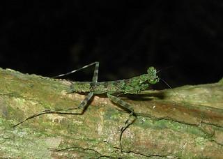 Mantis liquen