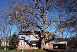 Huge White Oak Tree | by the bridge