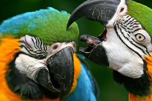 bird canon hawaii hurt beak parrot maui tropical bite 1001nights macaw f4 70300 specanimal mywinners hbppix superaplus aplusphoto mygearandmepremium mygearandmebronze mygearandmesilver mygearandmegold mygearandmeplatinum