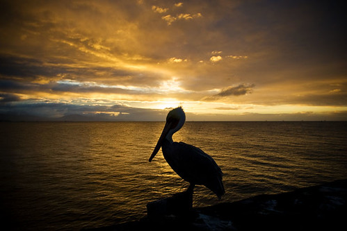 ocean morning bird silhouette santabarbara sunrise lights nikon pacific pelican wharf d200 2007 stearnswharf eow anawesomeshot wowiekazowie