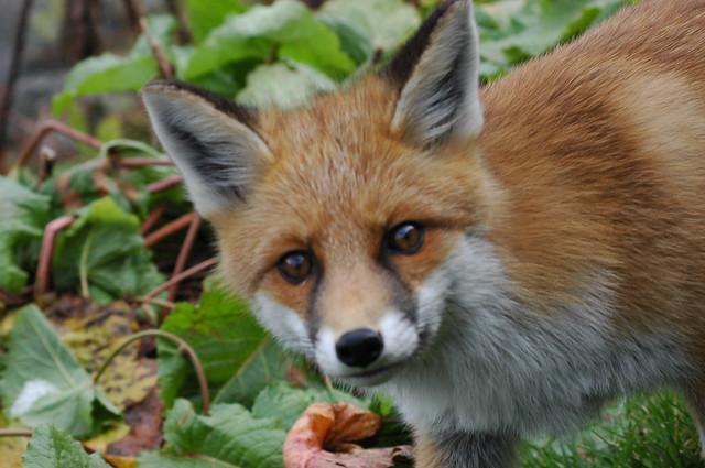 Guilla / Fox