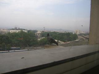 Pigeon looking over Pune