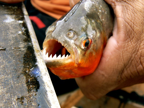 PIRAÑA EN EL AMAZONAS / PIRANHA IN AMAZON RIVER | by lcrf