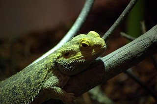 Lizard - Shedd Aquarium | by zemote