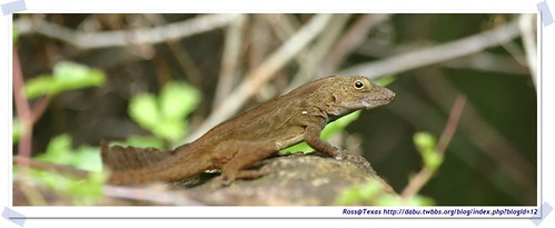 20041024_Guana@BVI_Crested Anole_003_A | by rosstsai