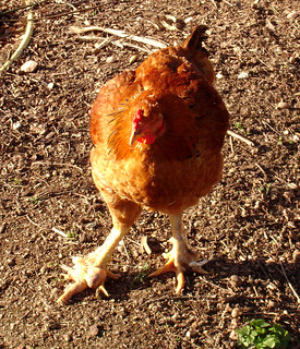 She's got Bumble Foot | by hardworkinghippy : La Ferme de Sourrou