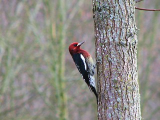 Red-breasted Sapsucker (Sphyrapicus ruber) | by Crappy Wildlife Photography