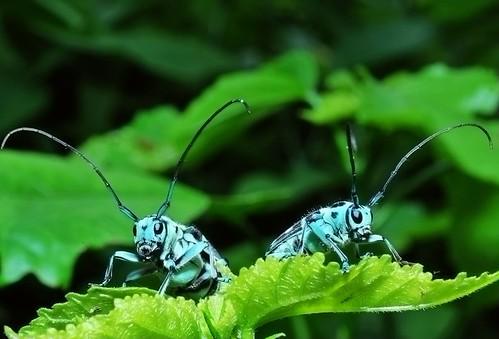 Blue long-horned beetle 藍天牛