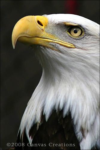 bird nature canon bravo eagle wildlife baldeagle raptor avian akronzoo specanimal specanimalphotooftheday goldenphotographer