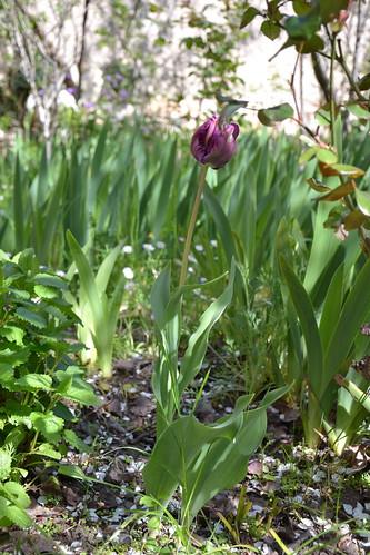 Tulipa - espèces et petits hybrides (sections 12 à 15) 32895769622_1c9a38888a