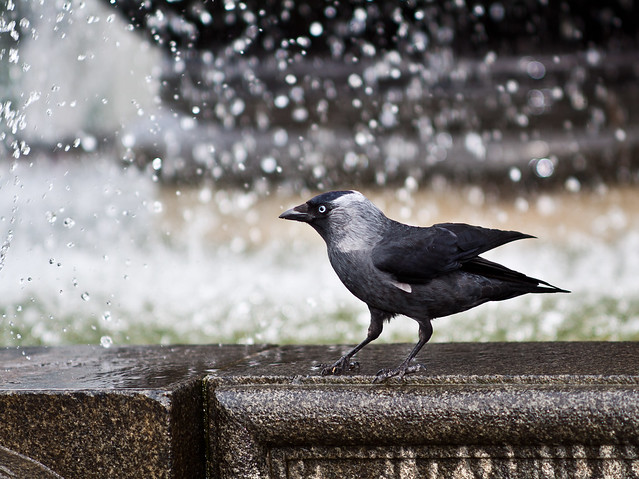 The brave Jackdaw