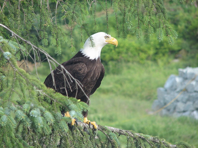 Bald Eagle, Ketchikan