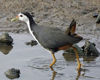 White-breasted Waterhen (Amaurornis phoenicurus ) | by Lip Kee