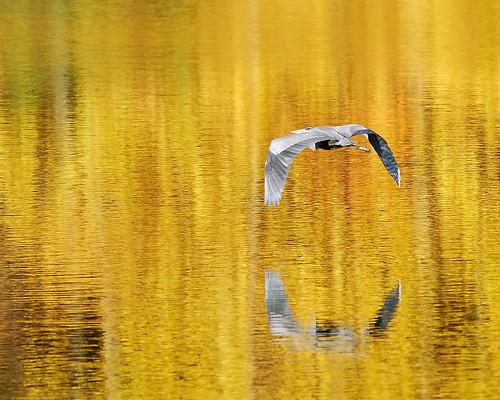 Heron on Lake Logan DSC_2880