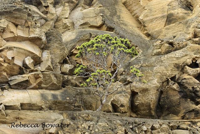 Scalesia incisa growing on lava rock