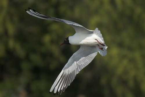 Black Headed Gull | by Treescaper
