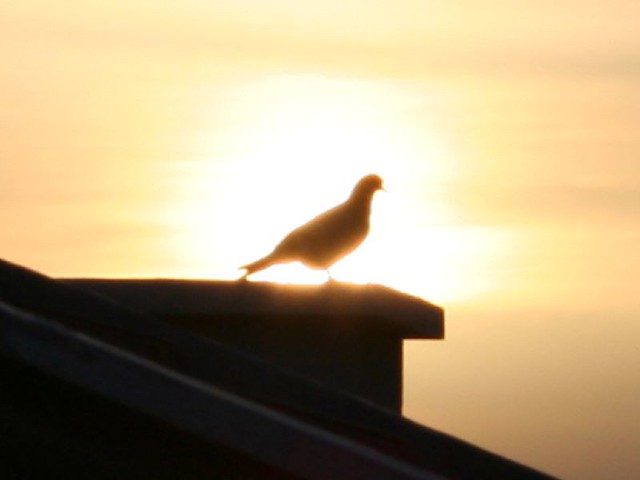 sunset pigeon on the roof