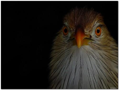 bird nature wildlife cuckoo guiracuckoo sooc hs10 hs11 pnsers