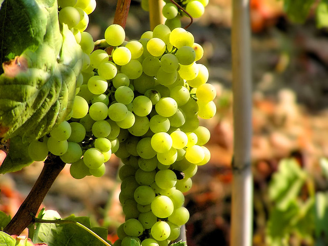 Mediterranean grapes