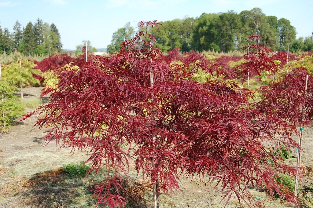 Red Dragon Japanese Maple Acer Palmatum Atropurpurea Dis Flickr