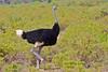 Somali Ostrich (Struthio molybdophanes) , male by piazzi1969