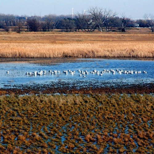 seagulls gulls wetlands lincoln flowrbx lincolnsalinewetlands whiteheadsalinewetland