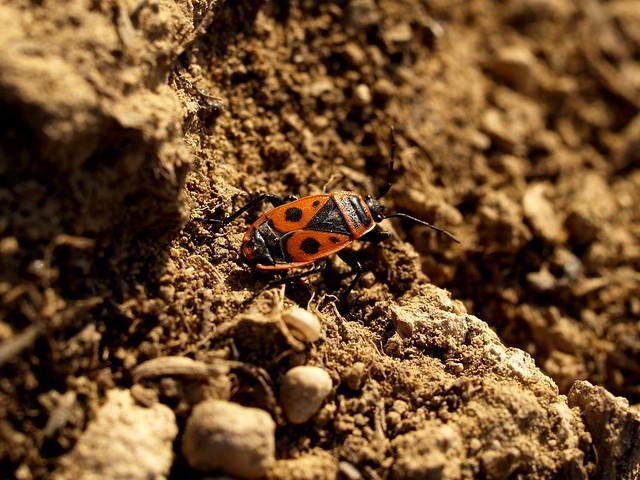 Poll de moro - Chinche roja (Pyrrhocoris apterus) 1