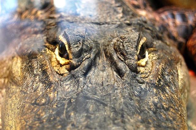 American Alligator Stare