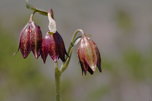 Chocolate Lily (Fritillaria biflora) is a species of plant nativ | by mikebaird