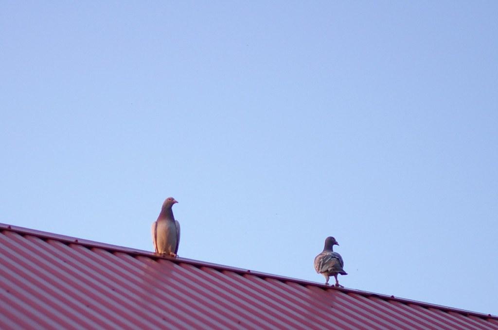 Gołębie pocztowe / Carrier pigeons