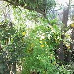 庭の花 やまぶき