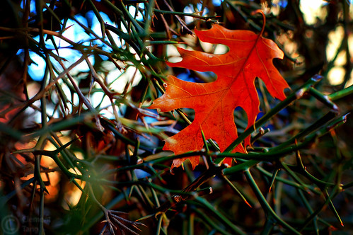 plants color nature colors d50 geotagged 50mm leaf nikon alone vivid lonely thorns nikkor 50mmf18d oklahomastateuniversity primelens explored clementtang geo:lat=36123408 geo:lon=9706923