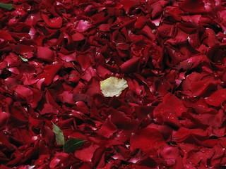 Petalos de rosa  (view large) | by marimbajlamesa
