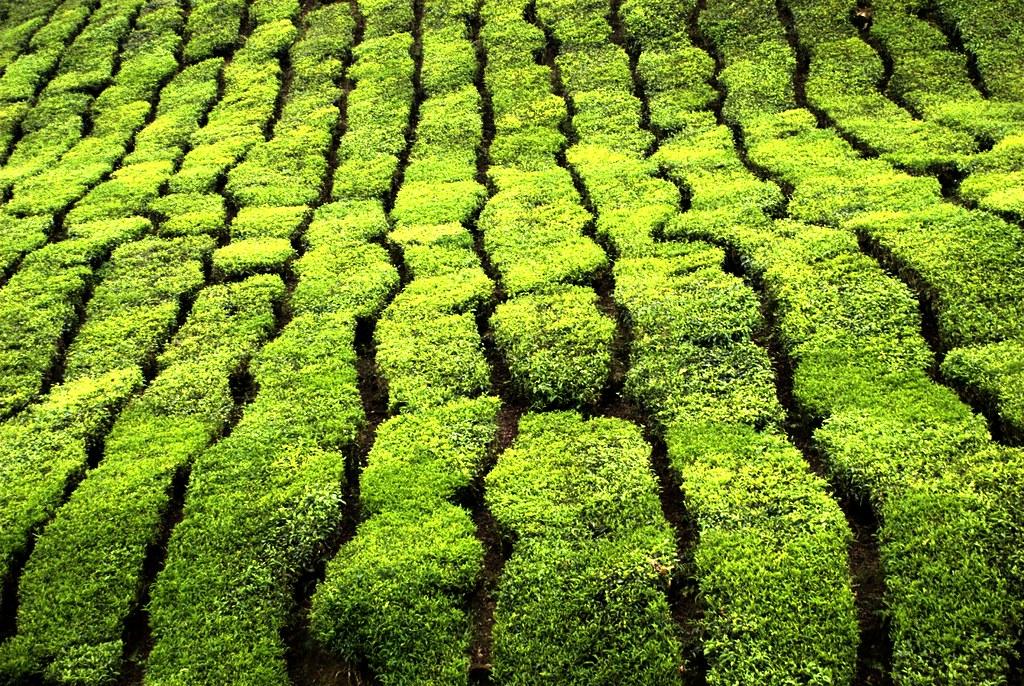 Плантации чая в Малайзии