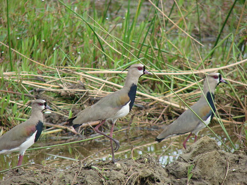 Alcaraván [Southern Lapwing] (Vanellus chilensis) | by barloventomagico